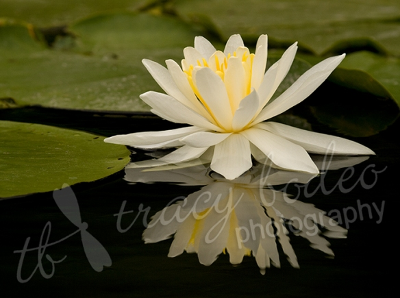 waterlily-b1
