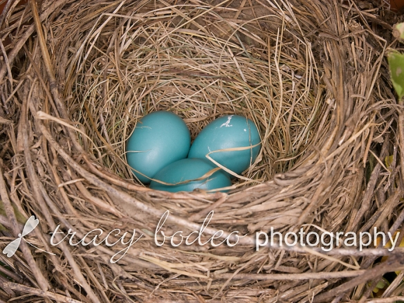 Robins-008-3Eggs-P-B
