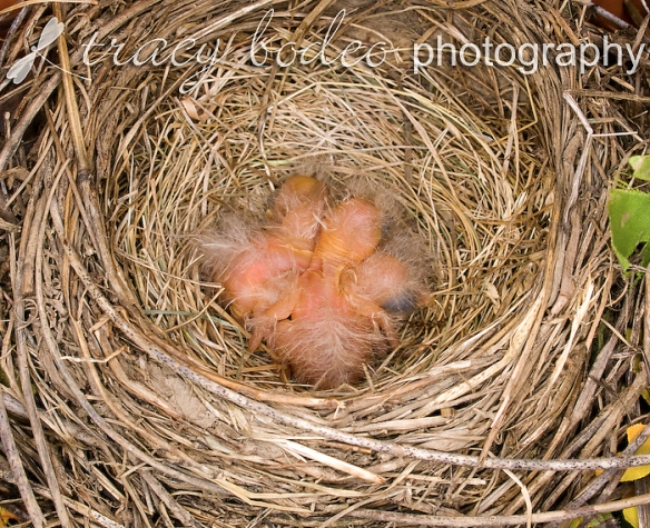 Robins-018-NewHatchlings-P-B