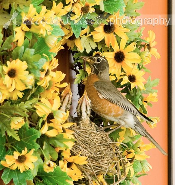 Robins2wks-041-P