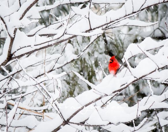 CardinalinSnow1