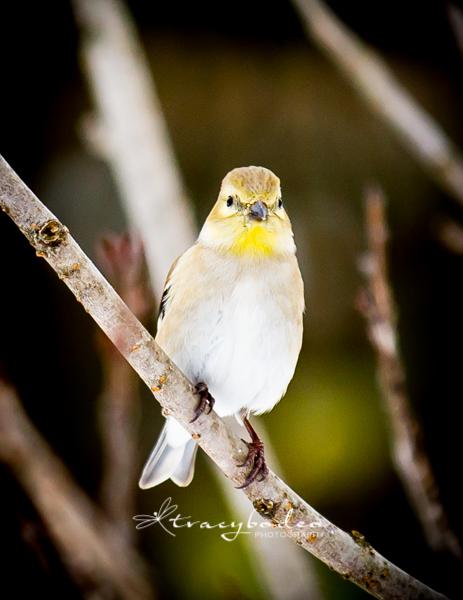 SnowGoldfinch2-tbp